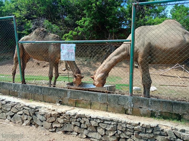 Baluarte Vigan Philippines Camel