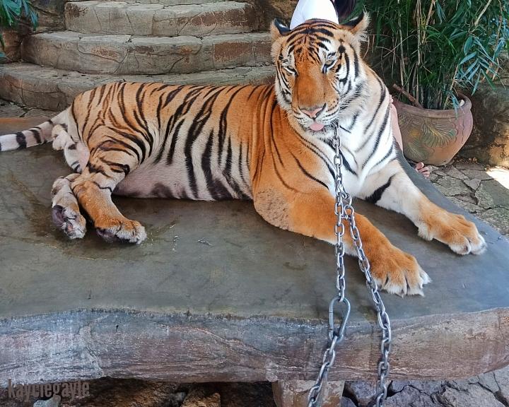 Baluarte Vigan Philippines Tiger