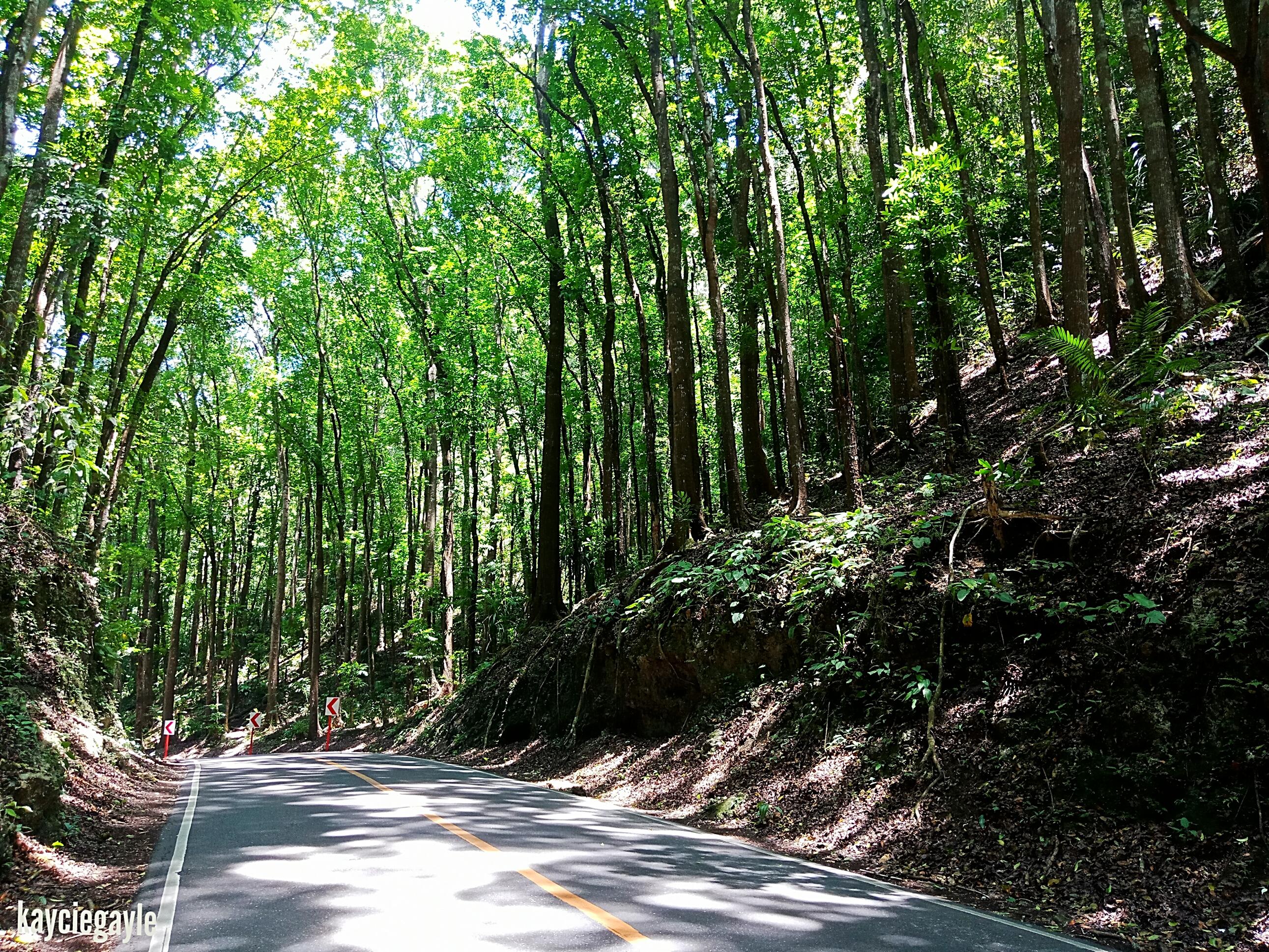 Bilar Manmade Forest in Bohol Mahogany Trees